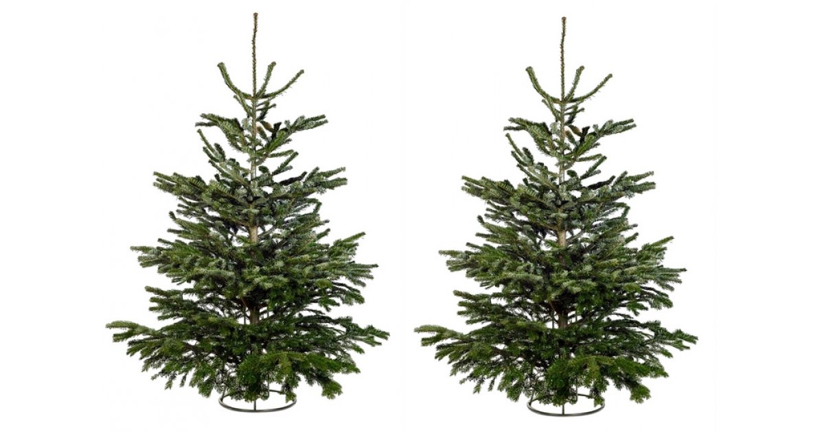 Cut Nordman Fir Real 6ft Christmas Tree Just £12 In Store